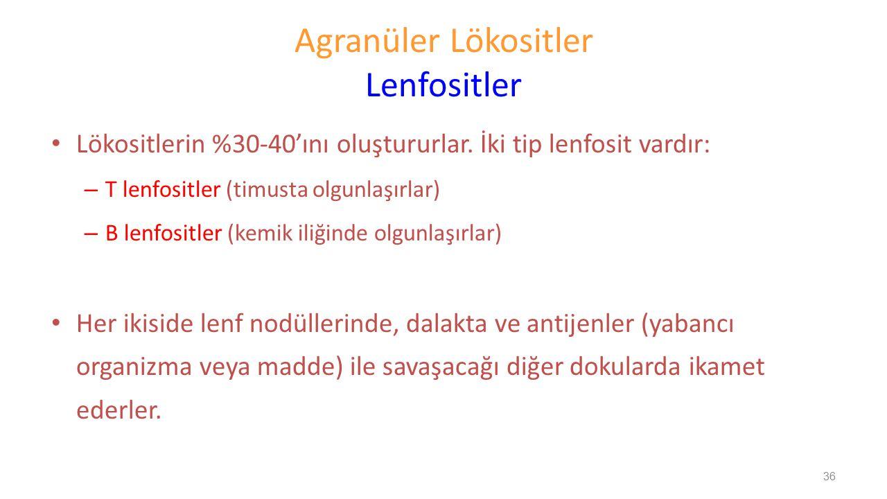 Agranüler Lökositler Lenfositler Lökositlerin %30-40'ını oluştururlar. İki tip lenfosit vardır: – T lenfositler (timusta olgunlaşırlar) – B lenfositle