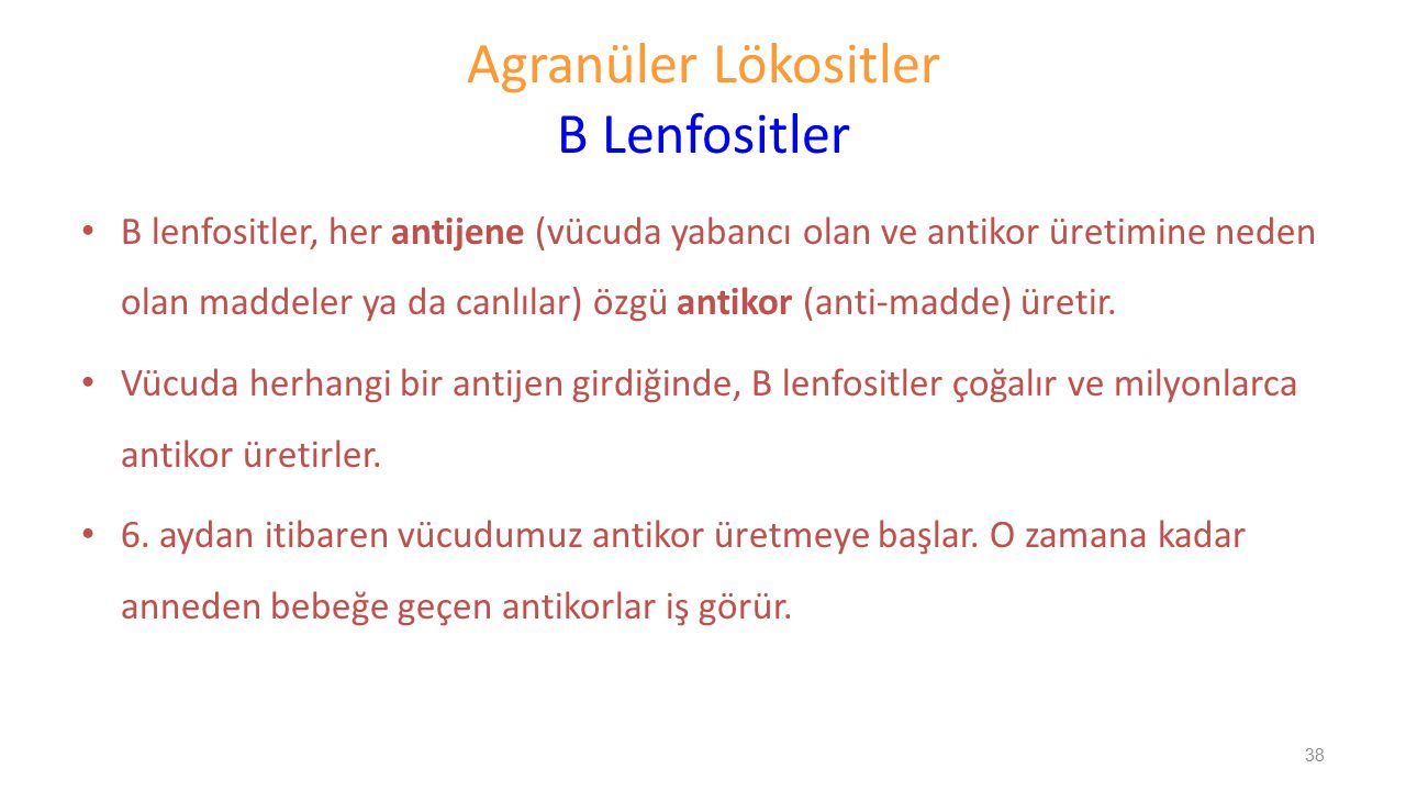 Agranüler Lökositler B Lenfositler B lenfositler, her antijene (vücuda yabancı olan ve antikor üretimine neden olan maddeler ya da canlılar) özgü anti