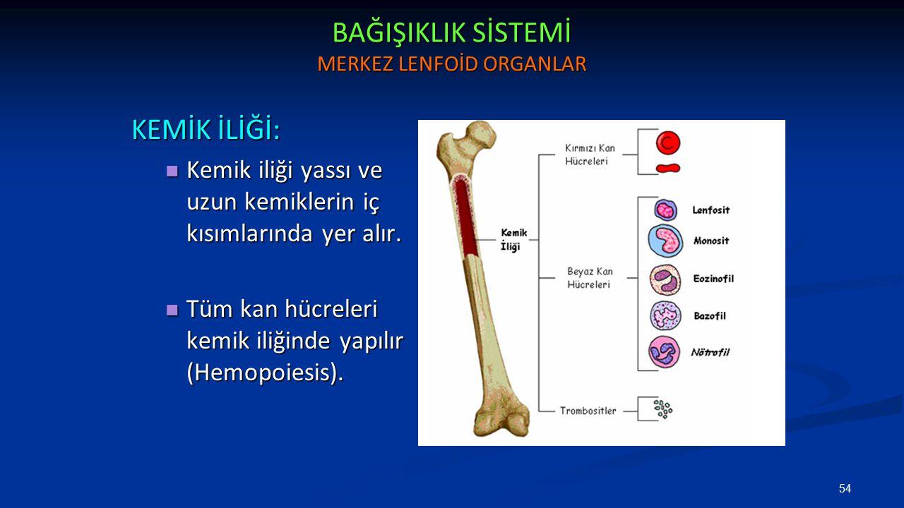 BAĞIŞIKLIK SİSTEMİ MERKEZ LENFOİD ORGANLAR KEMİK İLİĞİ: Kemik iliği yassı ve uzun kemiklerin iç kısımlarında yer alır. Kemik iliği yassı ve uzun kemik