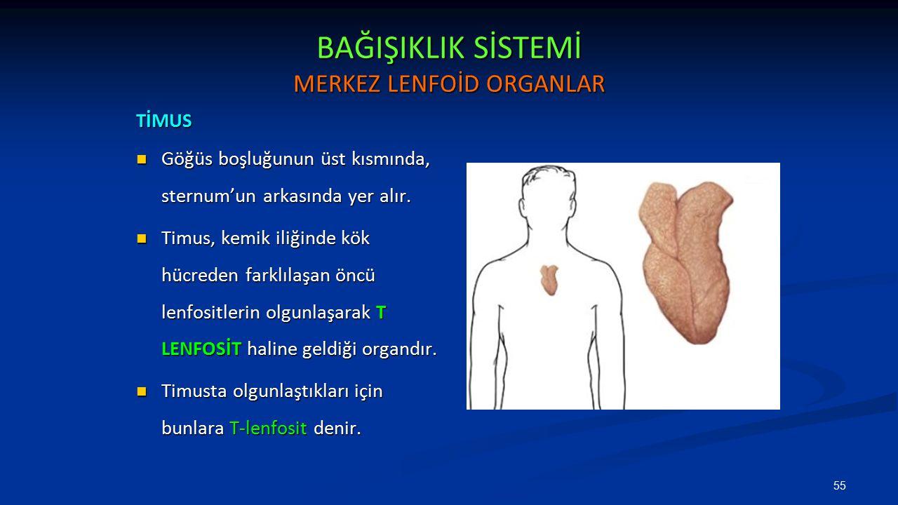 BAĞIŞIKLIK SİSTEMİ MERKEZ LENFOİD ORGANLAR TİMUS Göğüs boşluğunun üst kısmında, sternum'un arkasında yer alır. Göğüs boşluğunun üst kısmında, sternum'