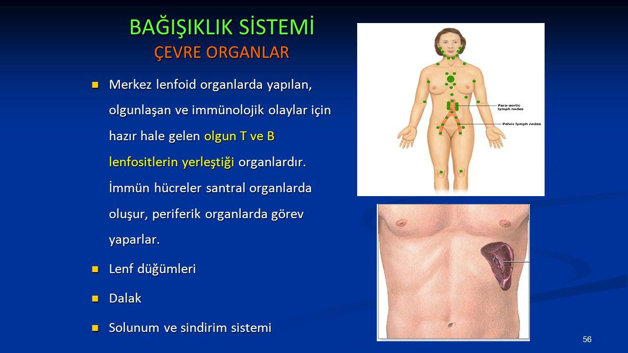BAĞIŞIKLIK SİSTEMİ ÇEVRE ORGANLAR Merkez lenfoid organlarda yapılan, olgunlaşan ve immünolojik olaylar için hazır hale gelen olgun T ve B lenfositleri