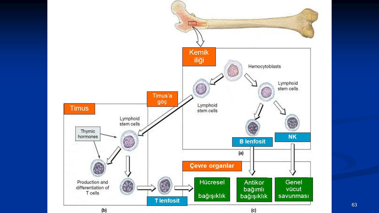 Kemik iliği B lenfosit NK Timus'a göç Timus T lenfosit Hücresel bağışıklık Antikor bağımlı bağışıklık Genel vücut savunması Çevre organlar 63