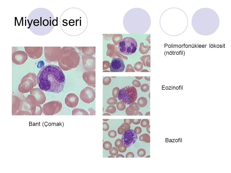 Miyeloid seri Miyeloblast Promiyelosit