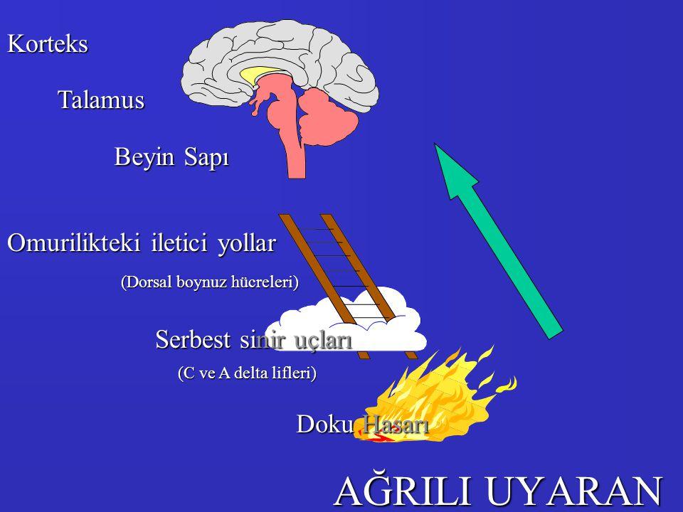 AĞRILI UYARAN Doku Hasarı Serbest sinir uçları Omurilikteki iletici yollar Beyin Sapı Talamus Korteks (Dorsal boynuz hücreleri) (C ve A delta lifleri)