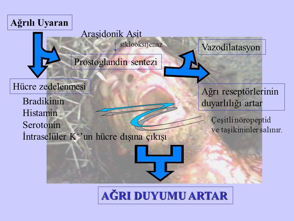 Ağrılı Uyaran Hücre zedelenmesi Bradikinin Histamin Serotonin İntraselüler K + 'un hücre dışına çıkışı Araşidonik Asit Prostoglandin sentezi siklooksi