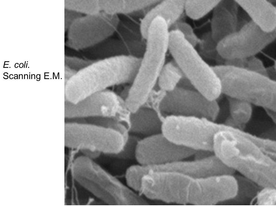 E. coli. Scanning E.M.