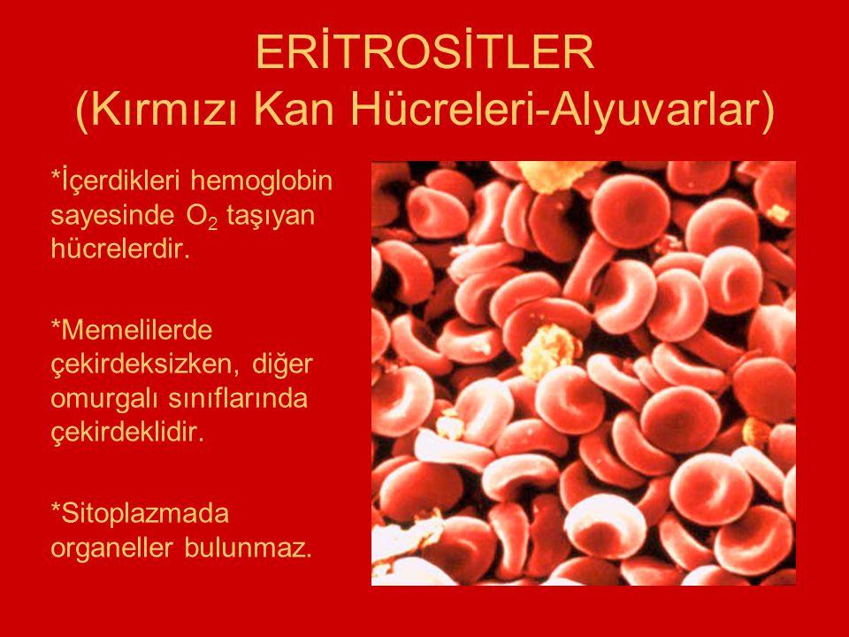 ERİTROSİTLER (Kırmızı Kan Hücreleri-Alyuvarlar) *İçerdikleri hemoglobin sayesinde O 2 taşıyan hücrelerdir. *Memelilerde çekirdeksizken, diğer omurgalı