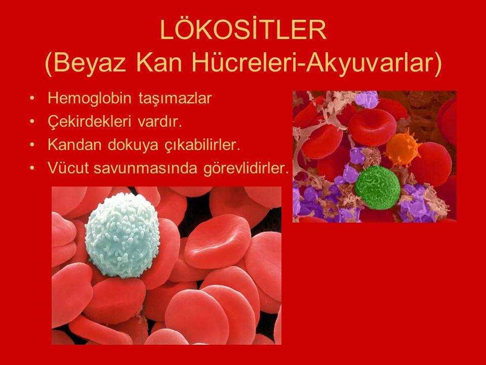 LÖKOSİTLER (Beyaz Kan Hücreleri-Akyuvarlar) Hemoglobin taşımazlar Çekirdekleri vardır. Kandan dokuya çıkabilirler. Vücut savunmasında görevlidirler.