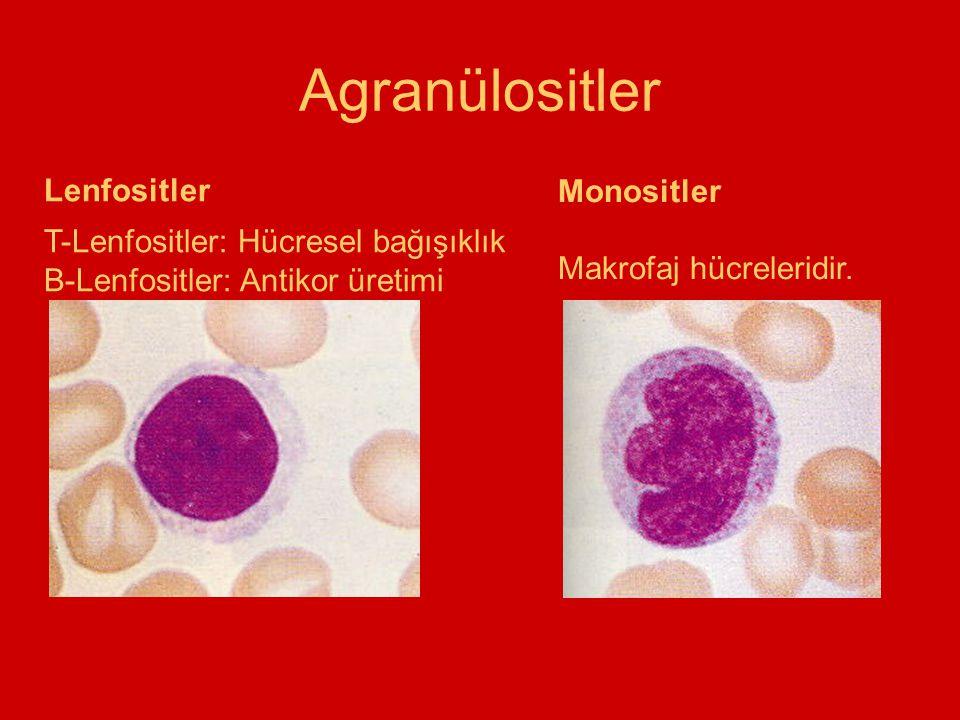 Agranülositler Lenfositler Monositler Makrofaj hücreleridir. T-Lenfositler: Hücresel bağışıklık B-Lenfositler: Antikor üretimi