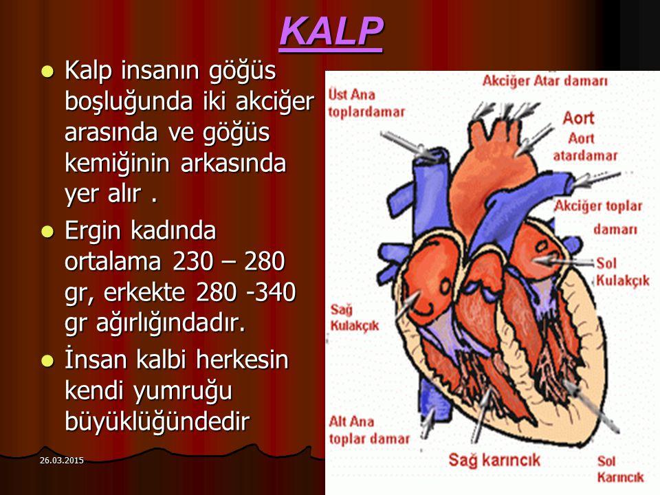 26.03.2015 KALP Kalp insanın göğüs boşluğunda iki akciğer arasında ve göğüs kemiğinin arkasında yer alır. Kalp insanın göğüs boşluğunda iki akciğer ar