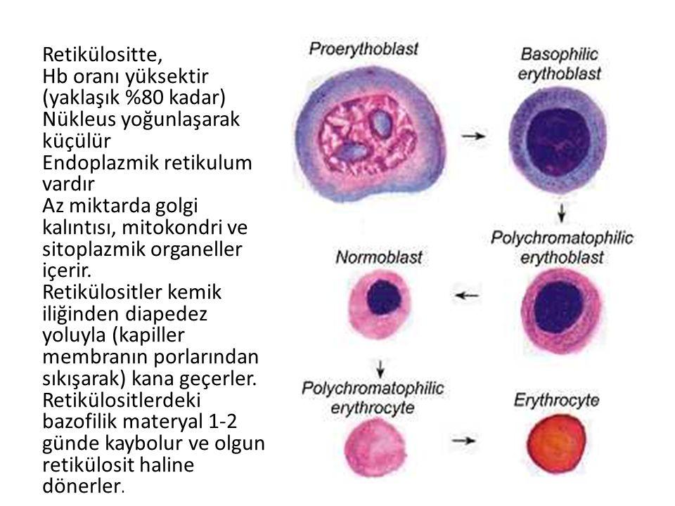 Kan hücrelerinin oluşma ve farklılaşma evreleri