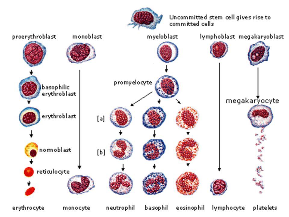 Lökositler Granüllü lökositler% Nötrofiller50-70 Eozinofiller1-4 Bazofiller0-1 Agranüler lökositler Monositler2-8 Lenfositler20-40