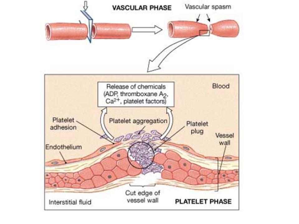 Trombosit tıkacı oluşumu Damardaki hasar küçükse kan pıhtısı yerine sadece trombosit tıkacı ile kapatılır. 1.Trombositler vWF sentezler 2.ADP, seraton