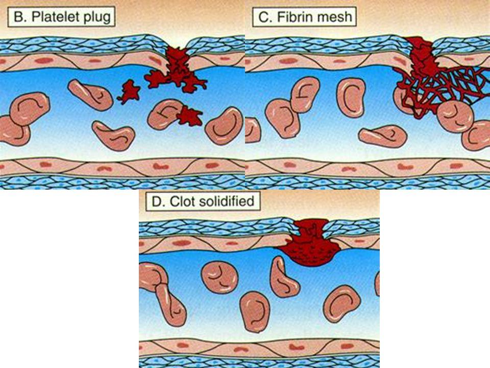 Pıhtılaşma 3 ana basamakta meydana gelir: A)Protrombin aktivatörü oluşumu Ca ++, trombosit B) Protrombin Trombin (Proteolitik enzim) C) Fibrinojen Fib