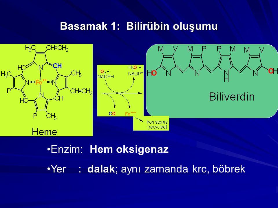 Basamak 6: İnce barsak ve ötesi… Bazı urobilinogenler tekrar emilir (colorless!) Bacterial etkinin devamı….