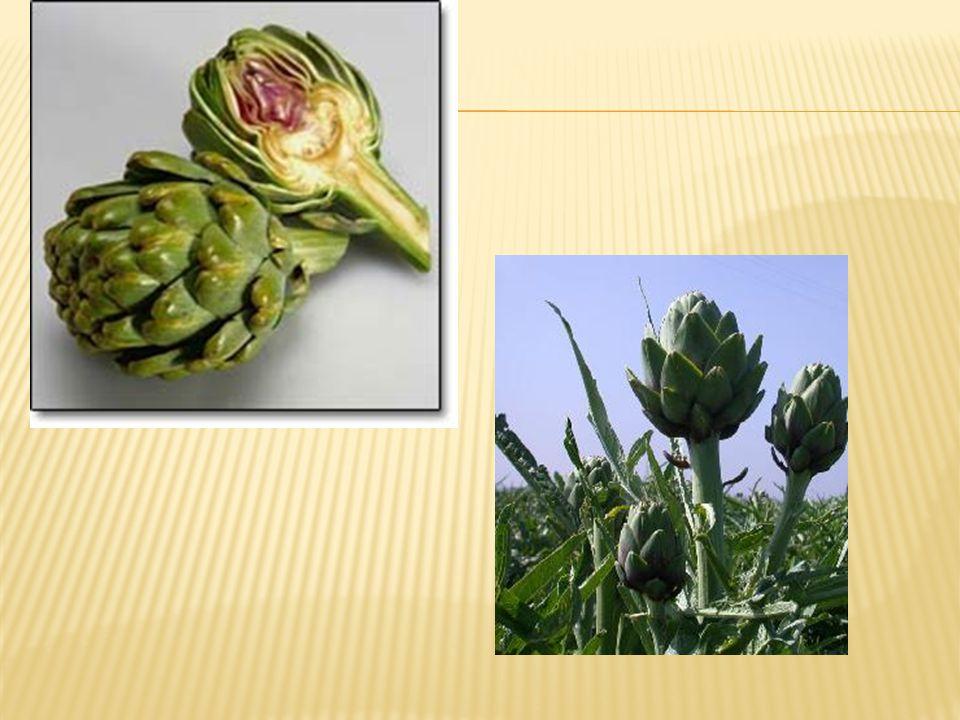  Enginar genel olarak ülkemizde ve birçok ülkede vegetatif yolla üretilmektedir.