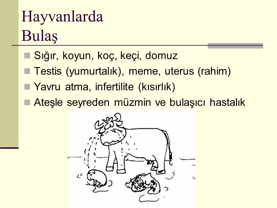 Hayvanlarda Bulaş Sığır, koyun, koç, keçi, domuz Testis (yumurtalık), meme, uterus (rahim) Yavru atma, infertilite (kısırlık) Ateşle seyreden müzmin v