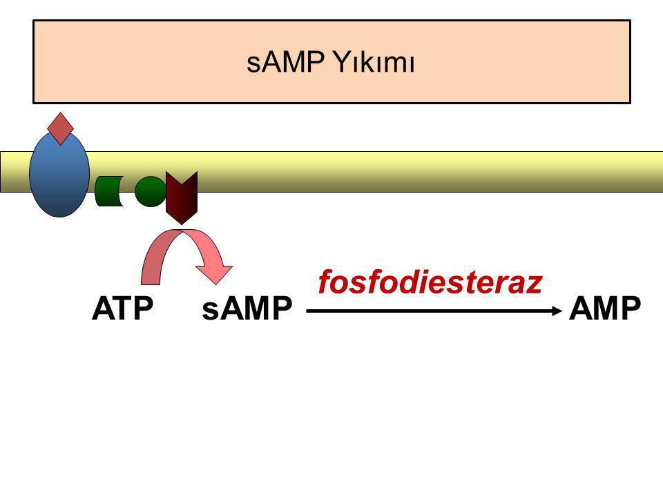 ATPsAMPAMP fosfodiesteraz sAMP Yıkımı