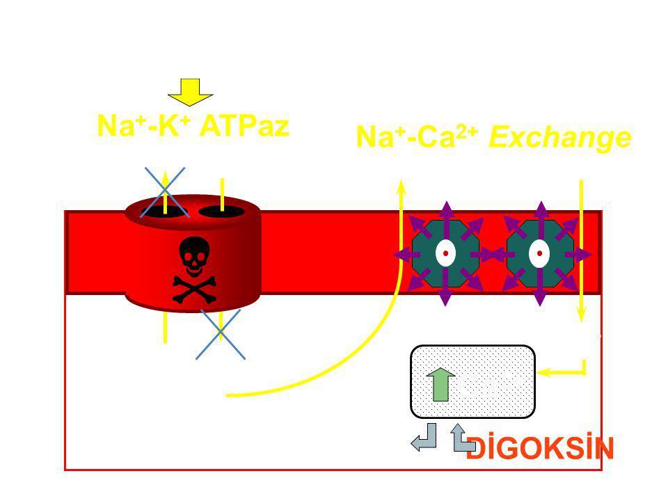 Na + K+K+ Ca 2+ Na + -K + ATPaz Na + -Ca 2+ Exchange DİGOKSİN  Ca 2+ DİGOKSİN Ca 2+