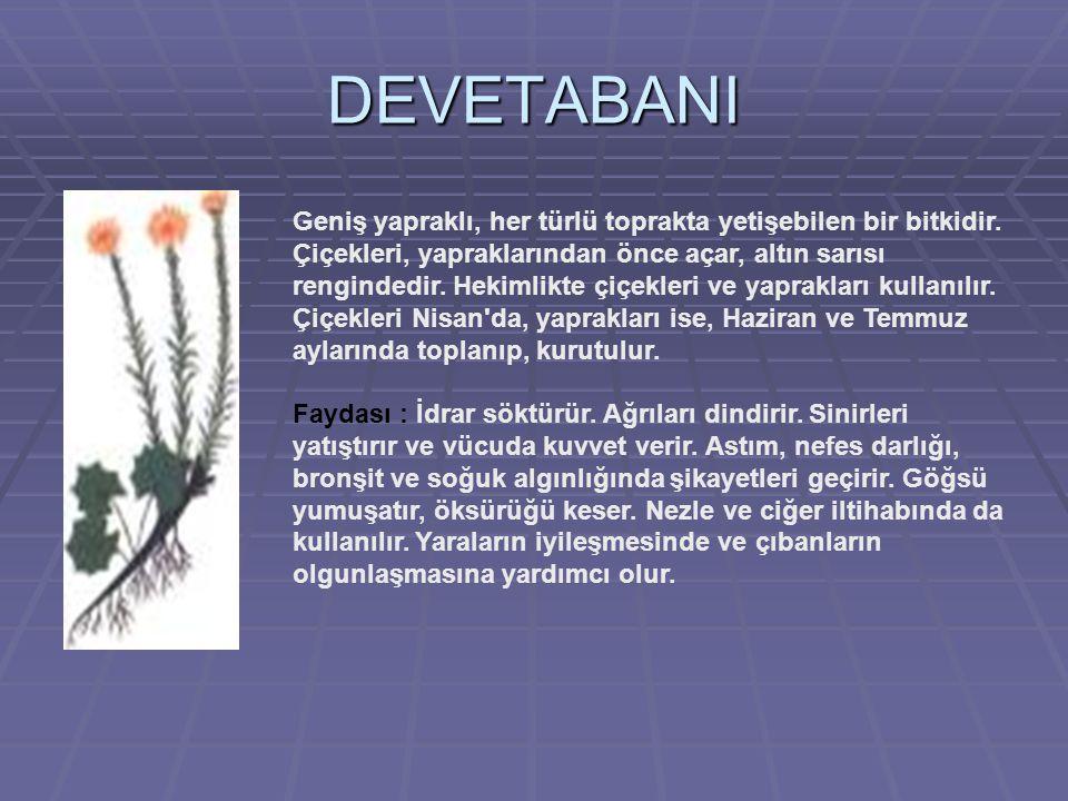 DEVETABANI Geniş yapraklı, her türlü toprakta yetişebilen bir bitkidir.