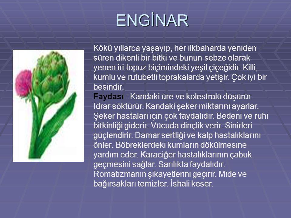 ENGİNAR Kökü yıllarca yaşayıp, her ilkbaharda yeniden süren dikenli bir bitki ve bunun sebze olarak yenen iri topuz biçimindeki yeşil çiçeğidir.