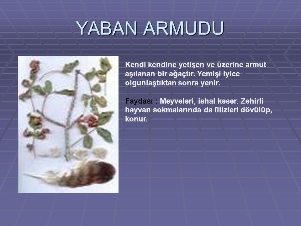YABAN ARMUDU Kendi kendine yetişen ve üzerine armut aşılanan bir ağaçtır.