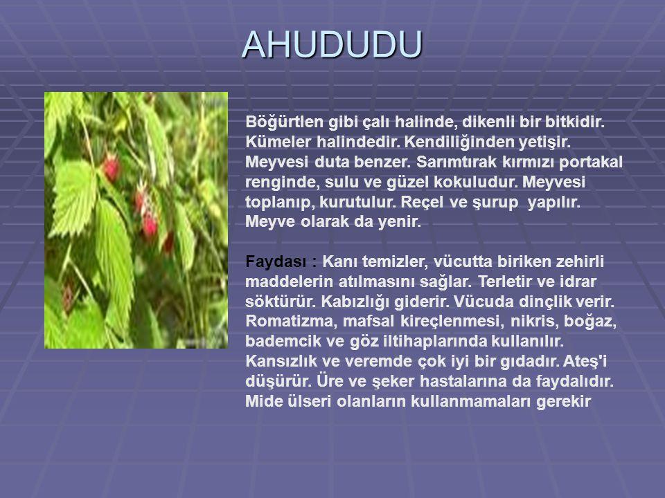 SARMISAK  Bütün kısımları keskin kokulu, 30-100 cm yüksekliğinde, otsu bir bitkidir.