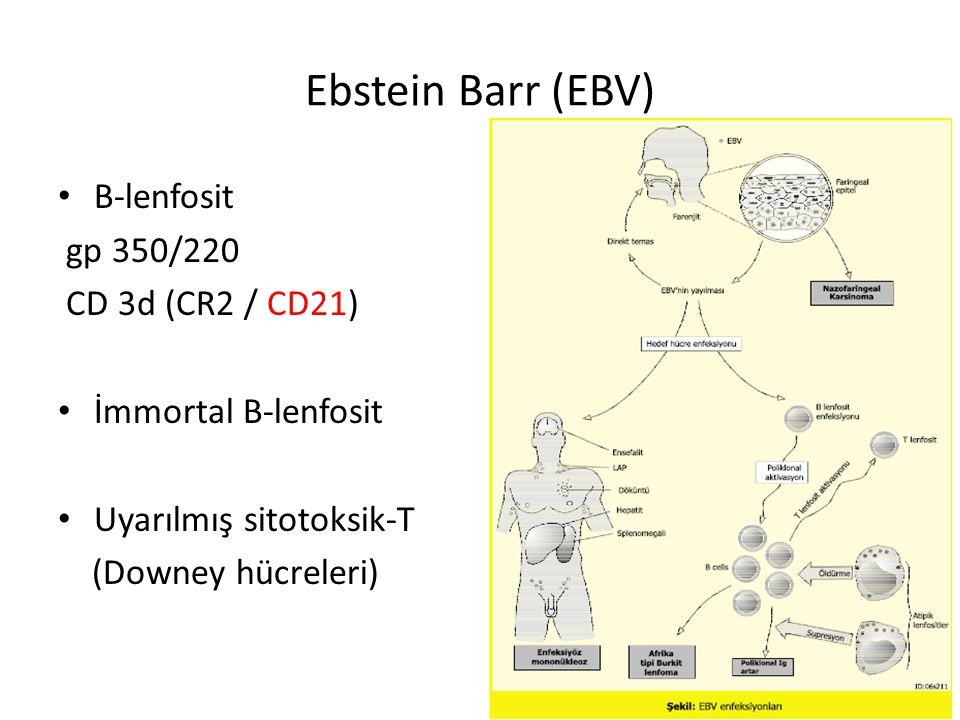 Ebstein Barr (EBV) B-lenfosit gp 350/220 CD 3d (CR2 / CD21) İmmortal B-lenfosit Uyarılmış sitotoksik-T (Downey hücreleri)