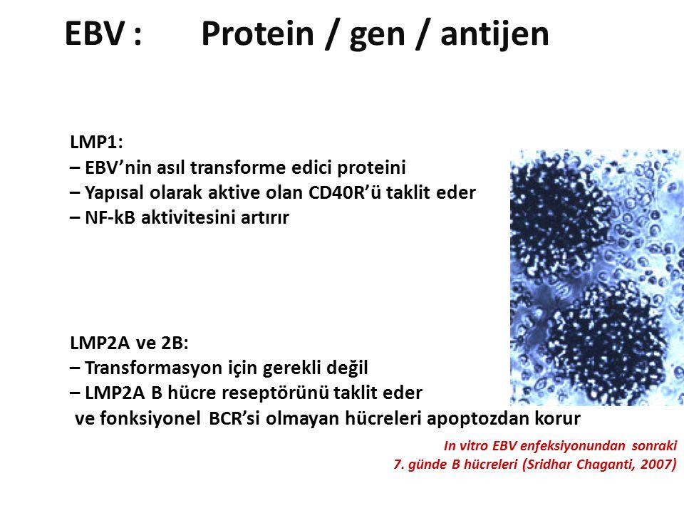 LMP1: – EBV'nin asıl transforme edici proteini – Yapısal olarak aktive olan CD40R'ü taklit eder – NF-kB aktivitesini artırır LMP2A ve 2B: – Transformasyon için gerekli değil – LMP2A B hücre reseptörünü taklit eder ve fonksiyonel BCR'si olmayan hücreleri apoptozdan korur EBV:Protein / gen / antijen In vitro EBV enfeksiyonundan sonraki 7.