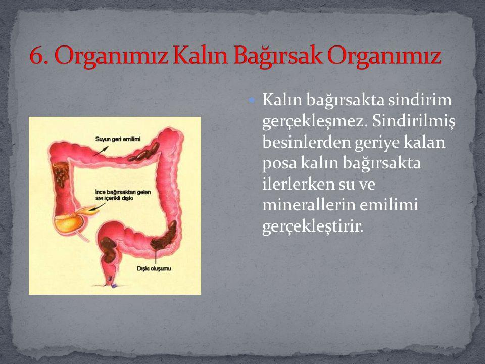 On iki bağırsak, boş bağırsak ve kıvrımlı bağırsak olmak üzere üç bölümden oluşmaktadır. İnce bağırsağa pankreas ve karaciğerden gelen enzimler dökülm