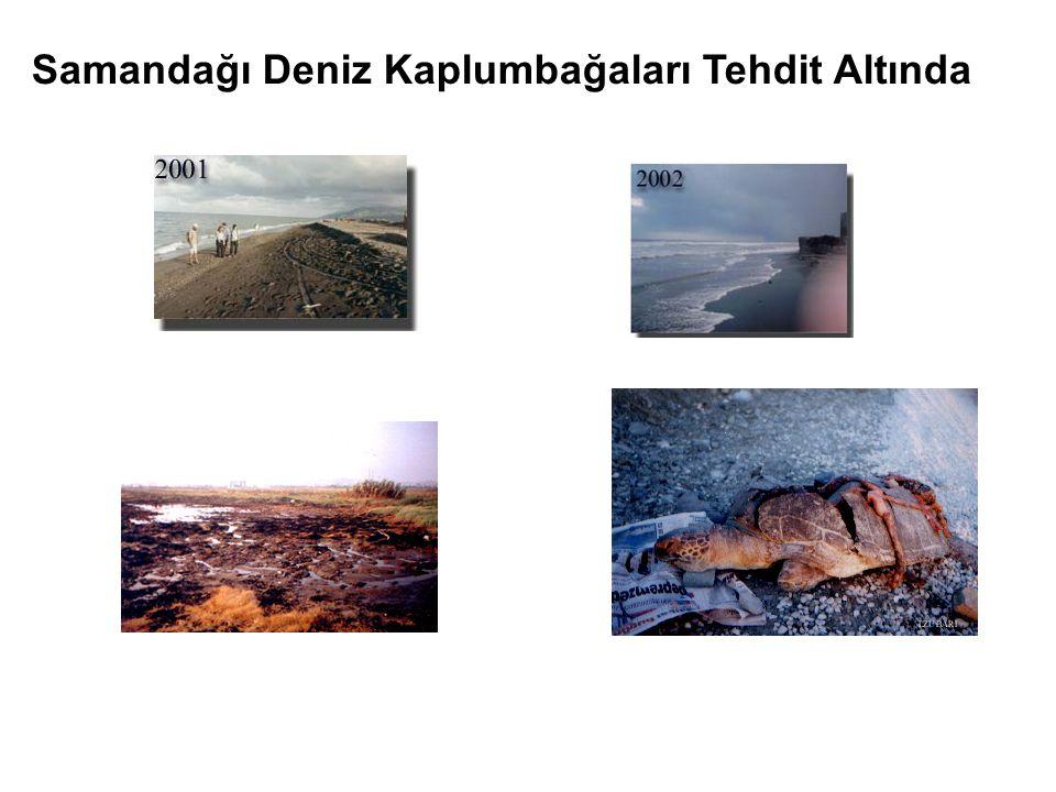 Samandağı Deniz Kaplumbağaları Tehdit Altında