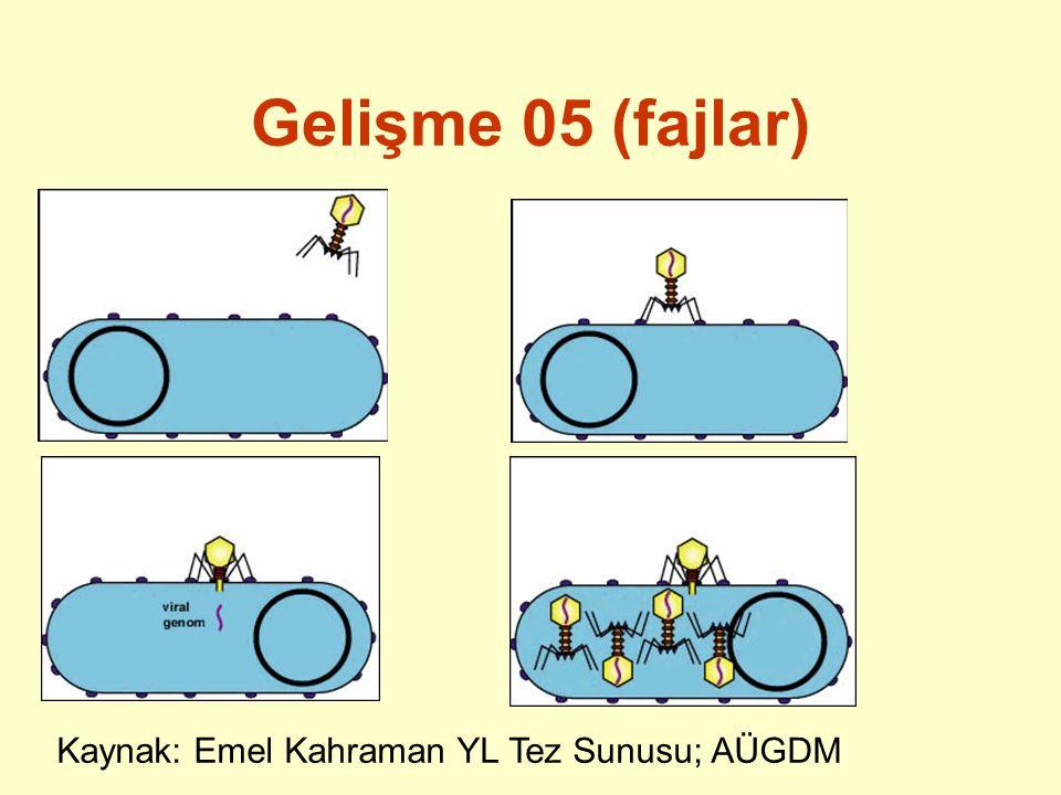 Gelişme 06 C.Logaritmik çoğalma evresi D. Yavaşlama evresi E.
