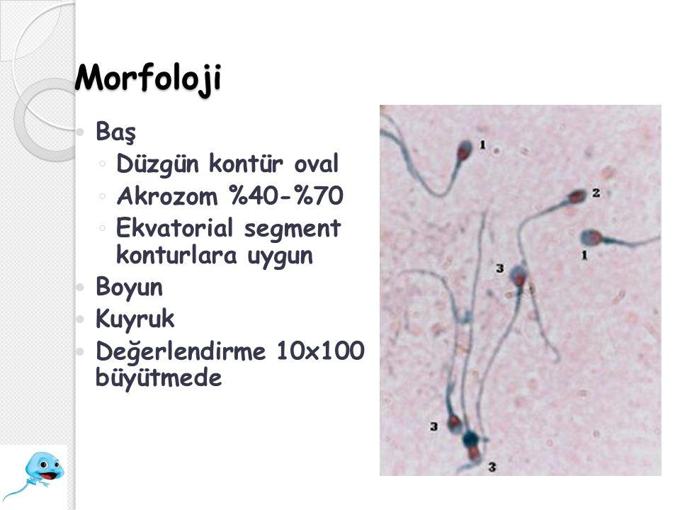Morfoloji Baş ◦ Düzgün kontür oval ◦ Akrozom %40-%70 ◦ Ekvatorial segment konturlara uygun Boyun Kuyruk Değerlendirme 10x100 büyütmede