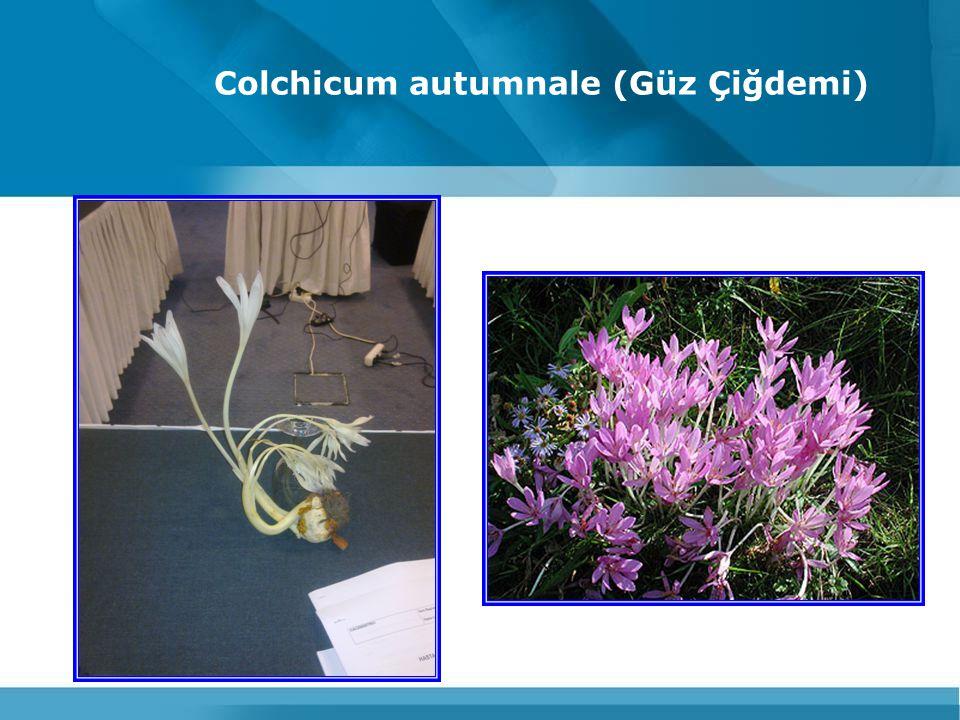 Colchicum autumnale (Güz Çiğdemi)