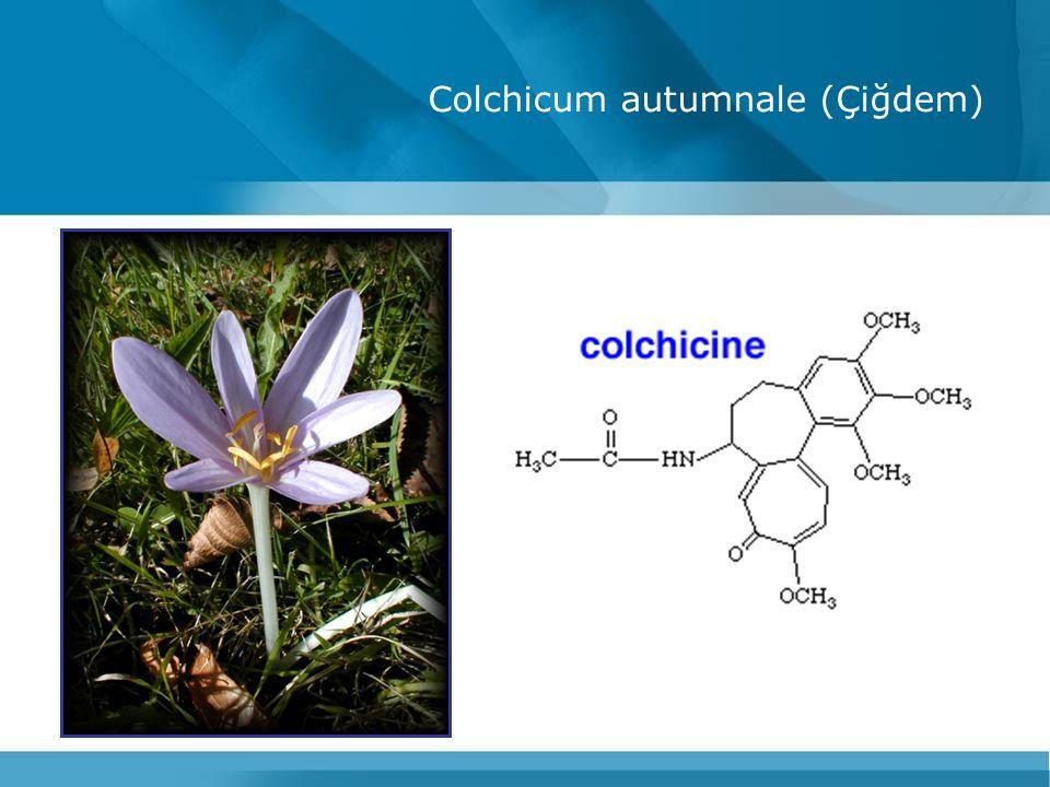 Colchicum autumnale (Çiğdem)