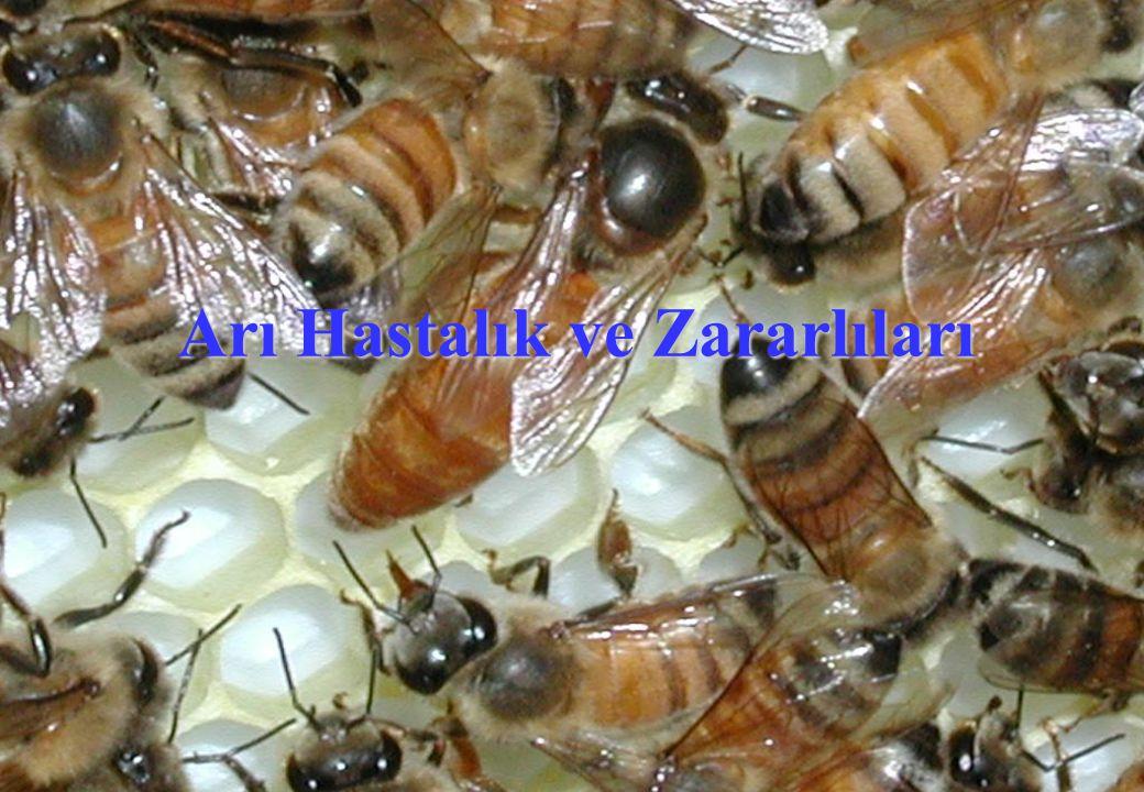 Nosema Hastalığı Belirtileri Hastalığa yakalanan arılar uçmaya çalışırlar, uçamazlar.