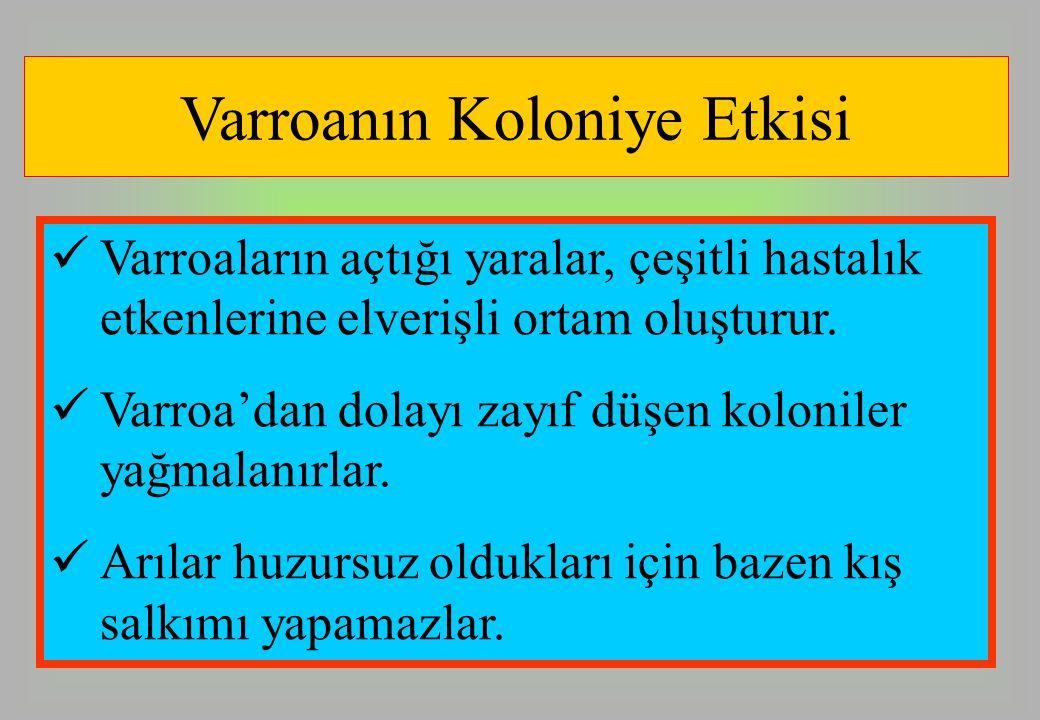 Varroanın Koloniye Etkisi Varroaların açtığı yaralar, çeşitli hastalık etkenlerine elverişli ortam oluşturur. Varroa'dan dolayı zayıf düşen koloniler