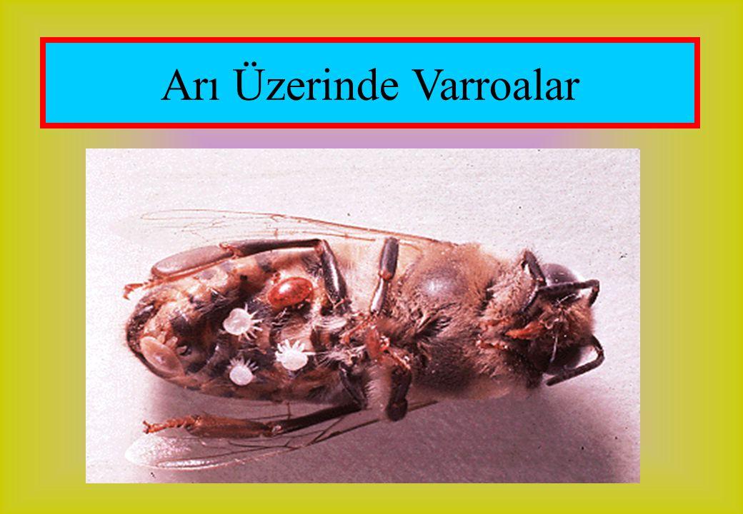 Arı Üzerinde Varroalar