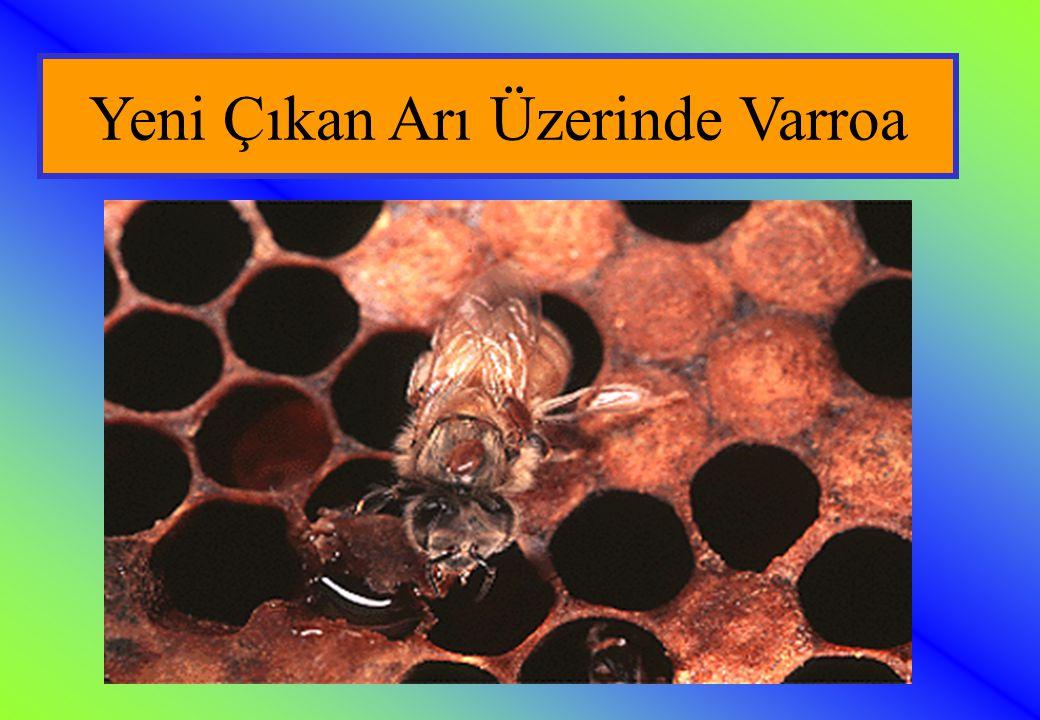 Yeni Çıkan Arı Üzerinde Varroa