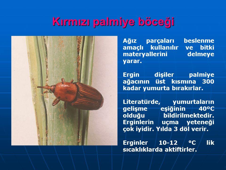 Kırmızı palmiye böceği Ağız parçaları beslenme amaçlı kullanılır ve bitki materyallerini delmeye yarar. Ergin dişiler palmiye ağacının üst kısmına 300