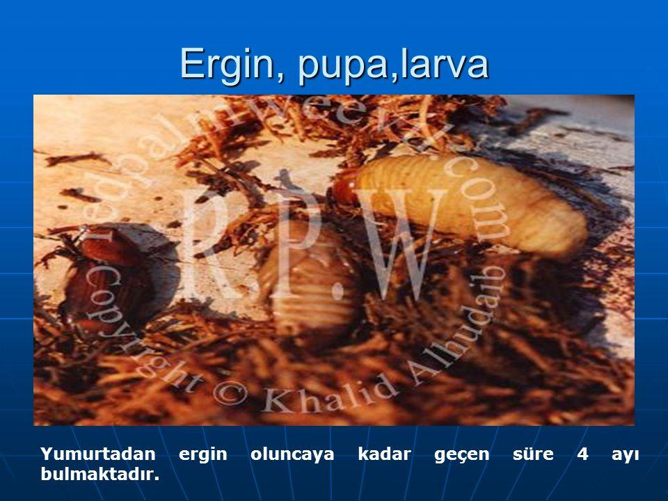 Ergin, pupa,larva Yumurtadan ergin oluncaya kadar geçen süre 4 ayı bulmaktadır.