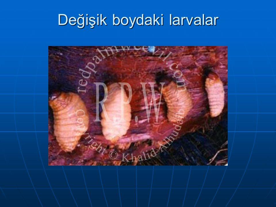 Değişik boydaki larvalar