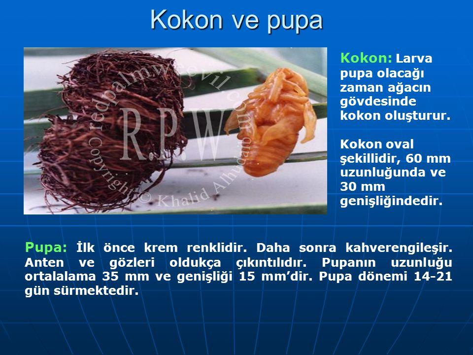 Kokon ve pupa Kokon: Larva pupa olacağı zaman ağacın gövdesinde kokon oluşturur. Kokon oval şekillidir, 60 mm uzunluğunda ve 30 mm genişliğindedir. Pu