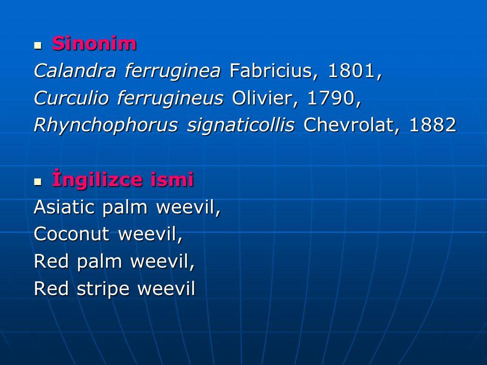 Sinonim Sinonim Calandra ferruginea Fabricius, 1801, Curculio ferrugineus Olivier, 1790, Rhynchophorus signaticollis Chevrolat, 1882 İngilizce ismi İngilizce ismi Asiatic palm weevil, Coconut weevil, Red palm weevil, Red stripe weevil