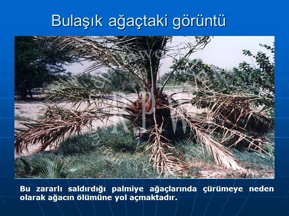 Bulaşık ağaçtaki görüntü Bu zararlı saldırdığı palmiye ağaçlarında çürümeye neden olarak ağacın ölümüne yol açmaktadır.