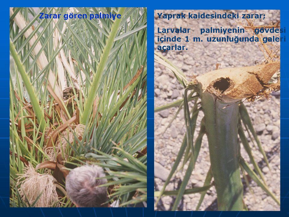 Zarar gören palmiyeYaprak kaidesindeki zarar; Larvalar palmiyenin gövdesi içinde 1 m. uzunluğunda galeri açarlar.