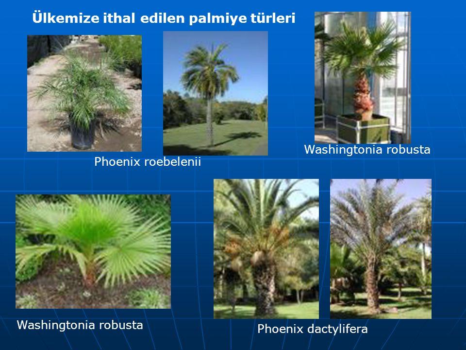 Phoenix roebelenii Phoenix dactylifera Washingtonia robusta Ülkemize ithal edilen palmiye türleri