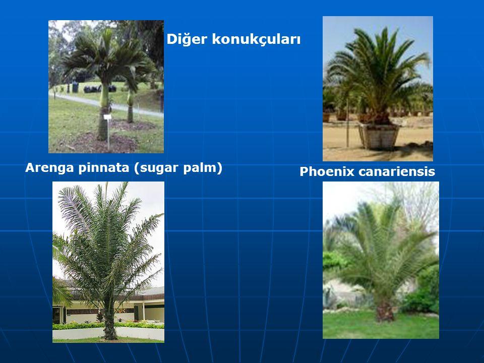 Arenga pinnata (sugar palm) Phoenix canariensis Diğer konukçuları