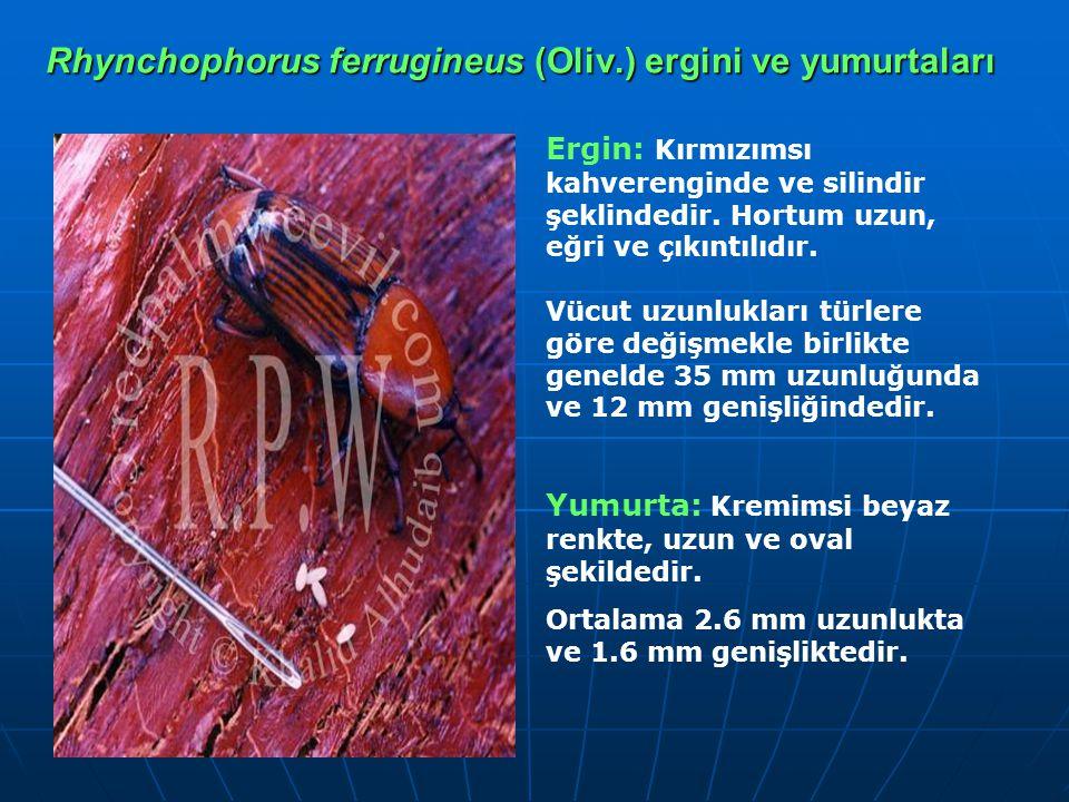 Rhynchophorus ferrugineus (Oliv.) ergini ve yumurtaları Ergin: Kırmızımsı kahverenginde ve silindir şeklindedir. Hortum uzun, eğri ve çıkıntılıdır. Vü