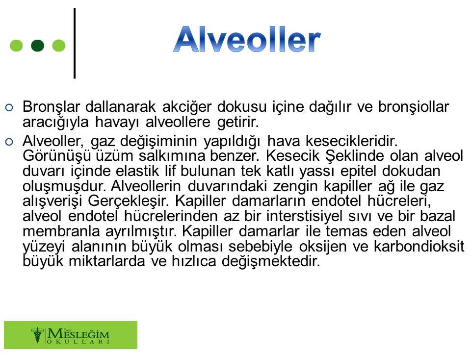 ○ Bronşlar dallanarak akciğer dokusu içine dağılır ve bronşiollar aracığıyla havayı alveollere getirir. ○ Alveoller, gaz değişiminin yapıldığı hava ke